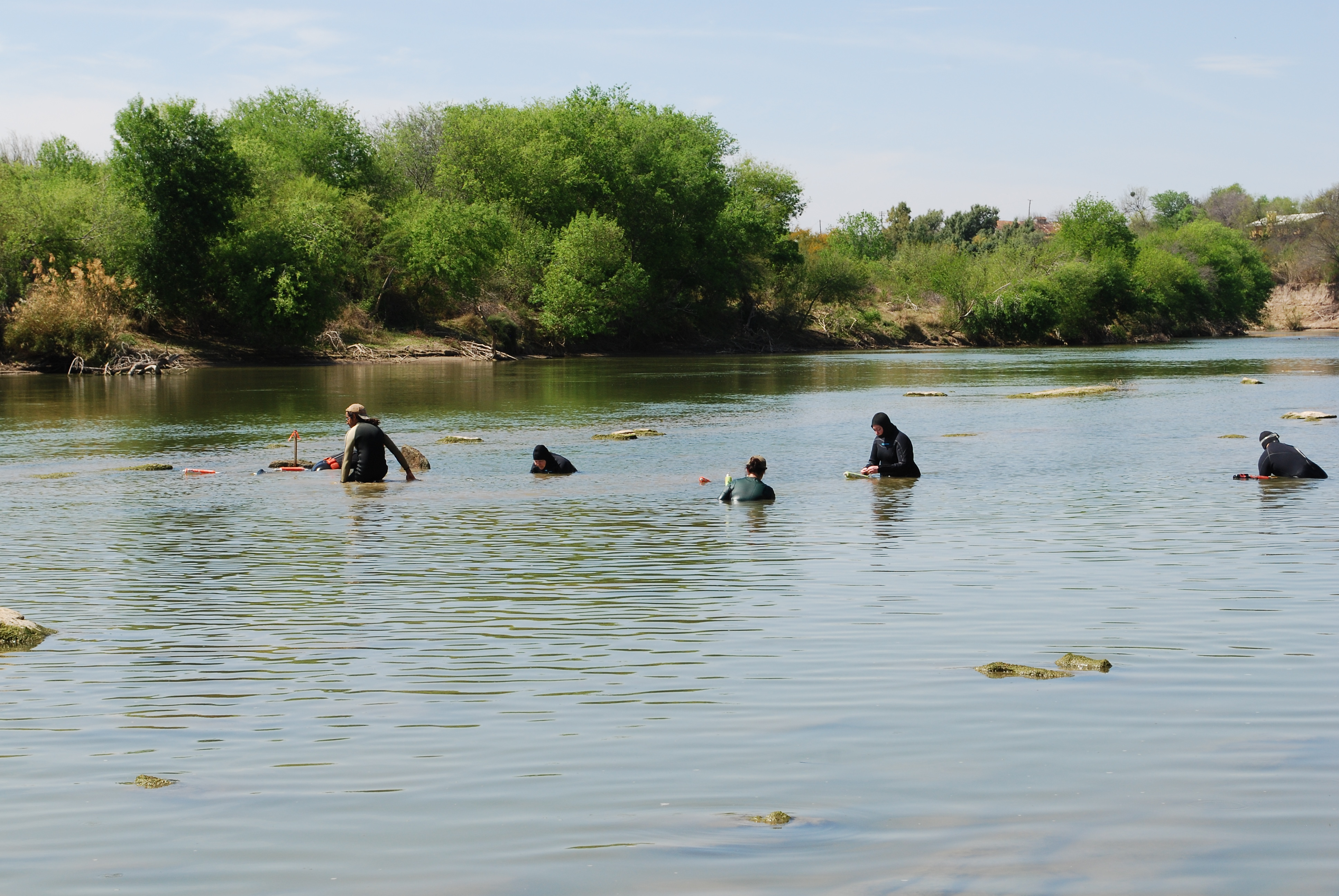 A group of researchers snorkeling in the Rio Grande river to find Texas Hornshell mussels.